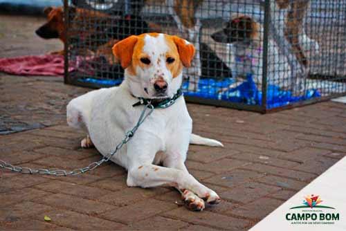 caes campo bom - Censo projeta mais de 1.500 cães em situação de rua em Campo Bom