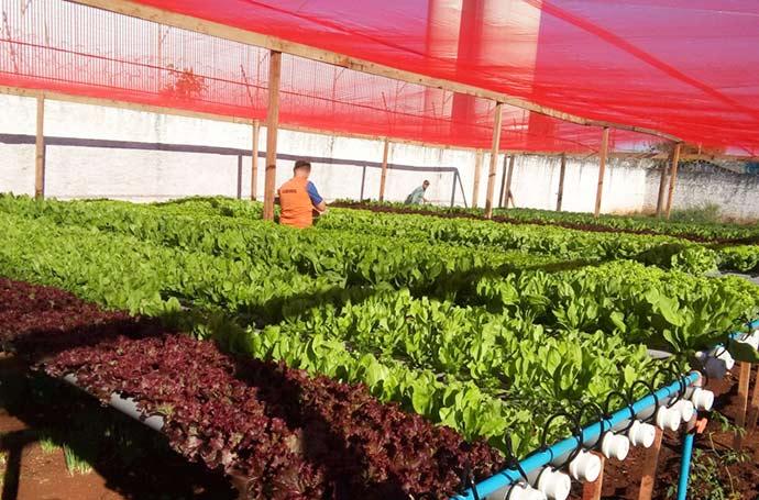 horta hidroponica susepe - Presos de Santa Rosa cultivam horta hidropônica