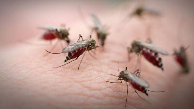 mosquito 1 - Mosquitos com bactéria que combate a dengue serão liberados no Rio