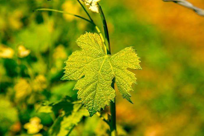 vindima na Serra Gaúcha - Vindima celebra a safra da uva na Serra Gaúcha