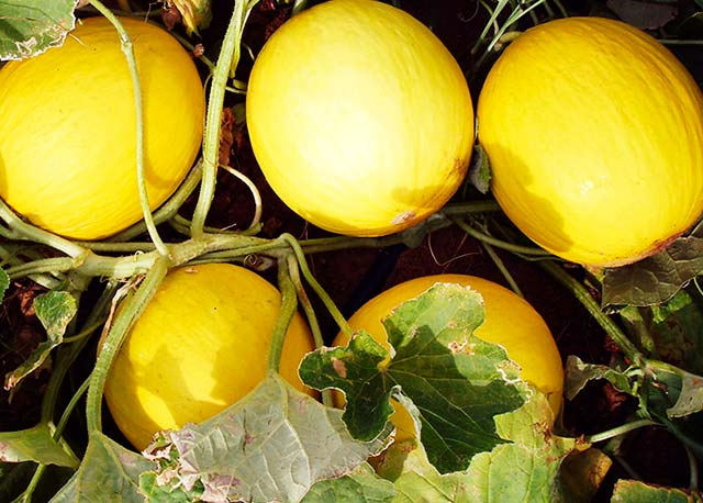 Melão hibrido da Embrapa é mais doce 2 - Híbrido de melão amarelo é mais doce e agrada produtores