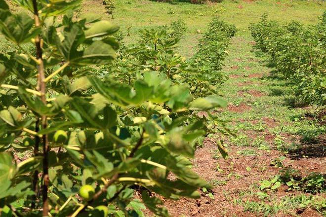 Plantação de Figo em Caxias do Sul 1 - Produtores investem no cultivo de figo em Caxias do Sul