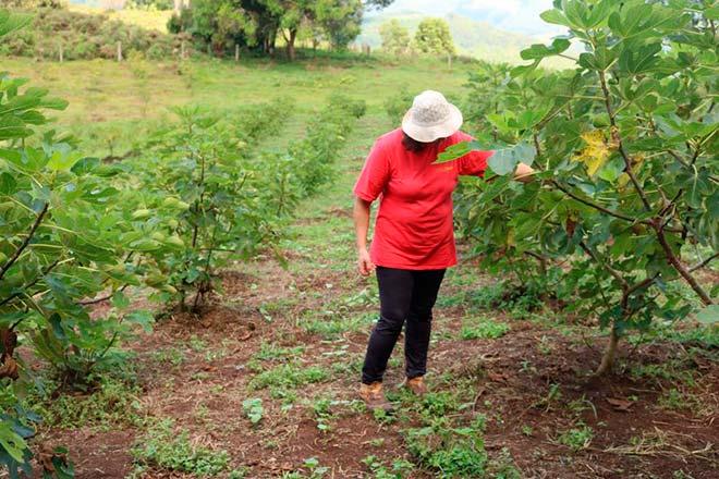 Plantação de Figo em Caxias do Sul 12 - Produtores investem no cultivo de figo em Caxias do Sul