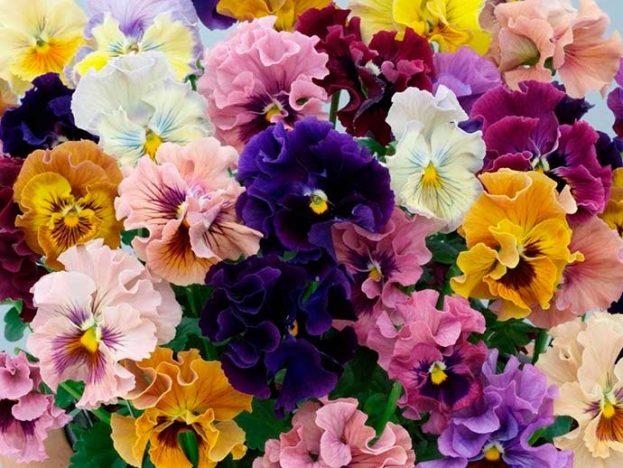 amor perfeito 623x468 - Flores para decorar a casa no inverno