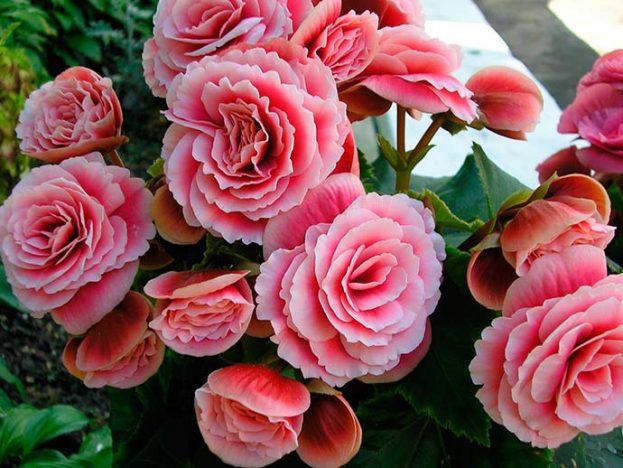 begonia 623x468 - Flores para decorar a casa no inverno