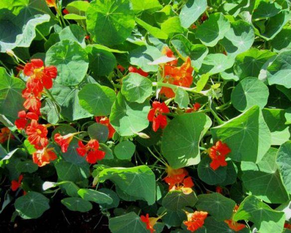Capuchinha 584x468 - Flor comestível: Embrapa Hortaliças avalia vida útil e composição nutricional