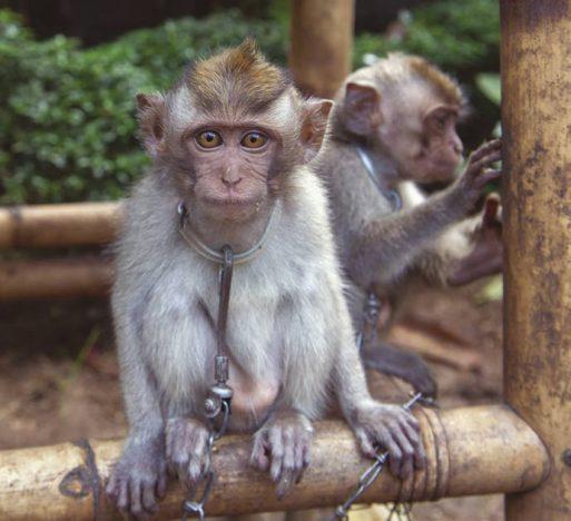bali parques maus tratos vida silvestre relatorio world animal protection 1 1 513x468 - Maus-tratos à Vida Silvestre: Bali não atende aos padrões de bem-estar animal