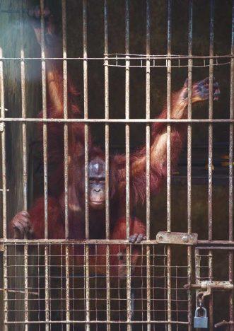 bali parques maus tratos vida silvestre relatorio world animal protection 2 13 331x468 - Maus-tratos à Vida Silvestre: Bali não atende aos padrões de bem-estar animal