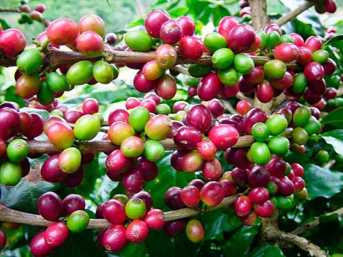 café1 - Produtividade aumenta a rentabilidade de café no Brasil