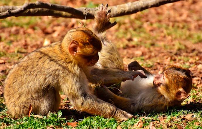 macacos - Ataque a macacos pode atrasar detecção da febre amarela