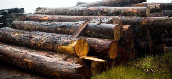 madeira ilegal - Operação apreende madeira extraída ilegalmente da floresta amazônica