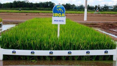 A nova cultivar apresenta boa resistência a doenças 390x220 - Irga apresenta cultivar resistente a doenças na abertura da colheita do arroz