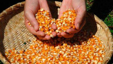 Colheita deverá ser 204 menor devido a falta de chuva na primavera 390x220 - Previsão de redução na safra de milho em Santa Catarina