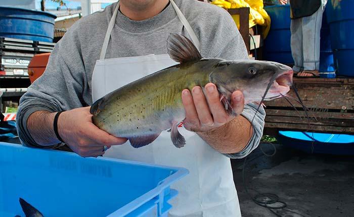 Feira do Peixe Vivo de Caxias do Sul  - Feira do Peixe Vivo ocorre na próxima terça-feira na Praça das Feiras