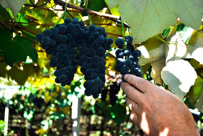 Os preços das uvas comuns fica entre R 3 e R 350 kg. - Venda de uvas no Parque de Eventos da Festa da Uva segue até março