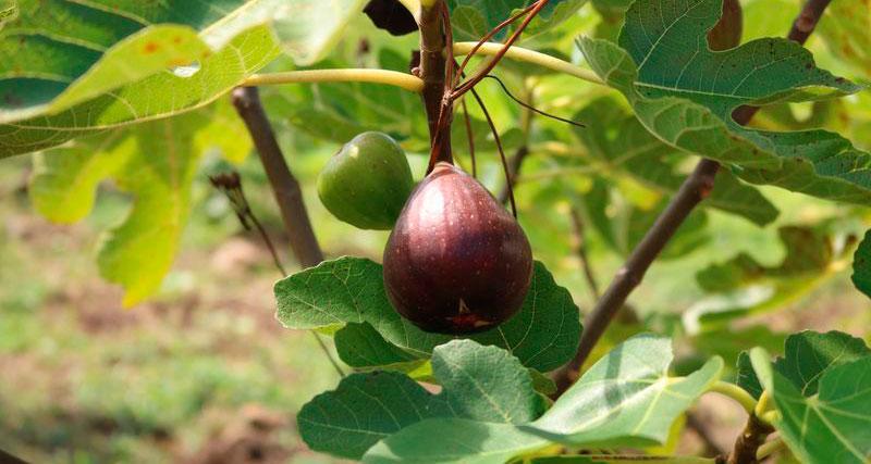 Plantação de Figo em Caxias do Sul 13 - Produtores investem no cultivo de figo em Caxias do Sul
