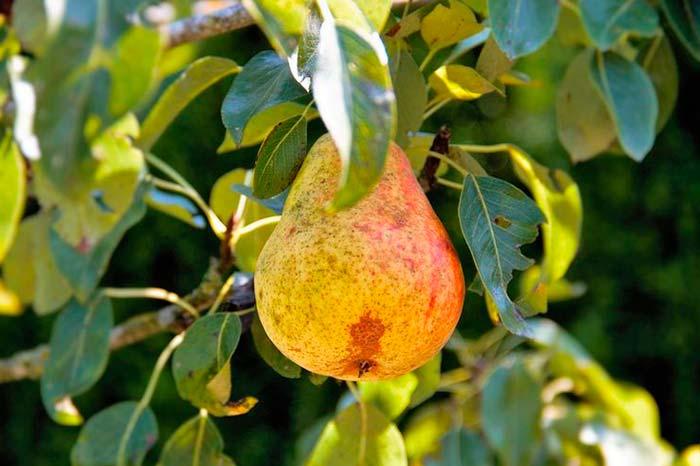 Safra da pera em Caxias do Sul RS - Safra da pera começa a ser colhida em Caxias do Sul