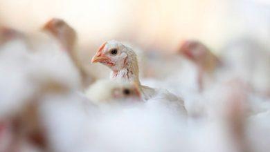 aves 390x220 - União Europeia proíbe importação da carne de frango de 20 frigoríficos brasileiros