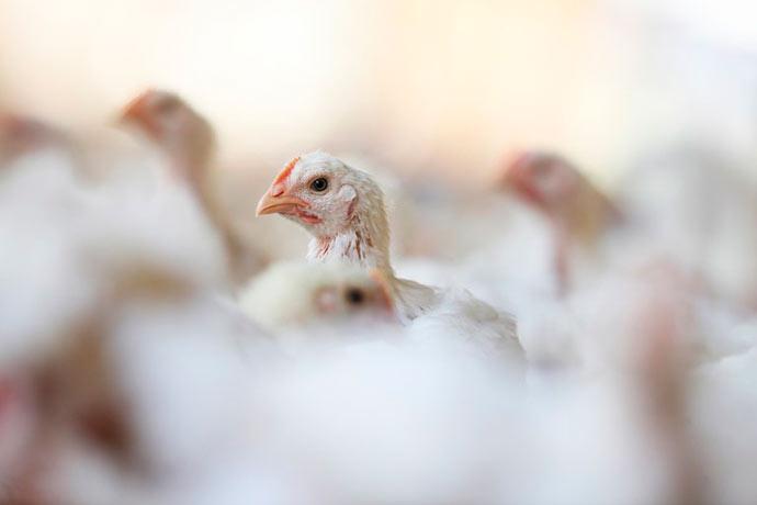 aves - Conab vai socorrer criadores de aves e suínos na falta de ração
