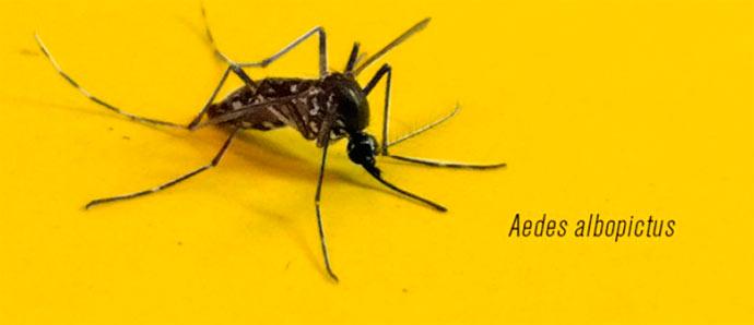 mosquito Aedes albopictus - Pesquisa detecta vírus da febre amarela em novo tipo de mosquito