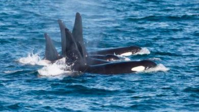 orca 390x220 - Silversea e ORCA firmam parceria pela conservação da vida marinha