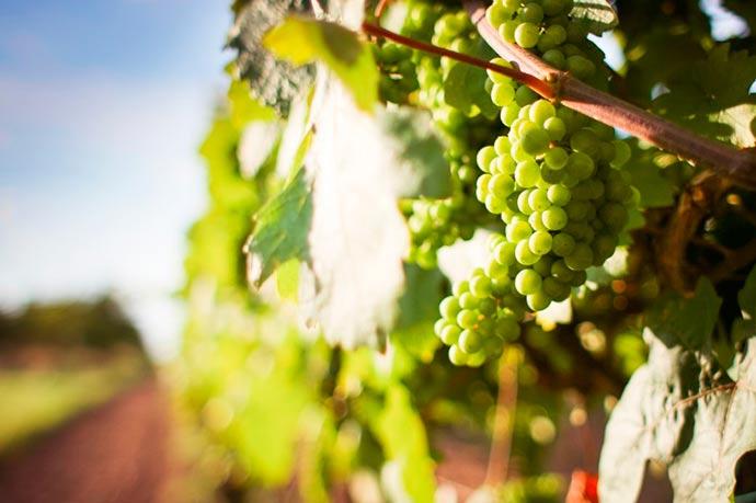 uvas1 - Safra de uva 2018: a melhor da década