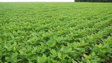 Lavoura de Soja RS 390x220 - Mesmo com pouca chuva, RS pode ter excelente colheita