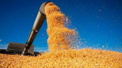 Safra do Milho 390x220 - Chuva no Nordeste traz expectativa de safra de 4 milhões de toneladas de grãos