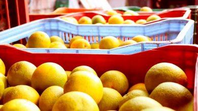 Produção de laranja e bergamota deve chegar a 38 mil toneladas em Caxias do Sul 5 390x220 - Produção de laranja e bergamota deve chegar a 3,8 mil toneladas em Caxias do Sul