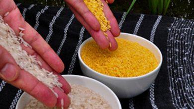 arroz dourado 1 390x220 - Arroz dourado: espera pode estar perto do fim