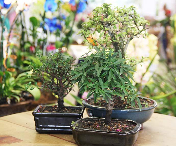 bonsai02 - Bonsai exige cuidados especiais
