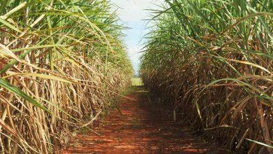 cana de acucar 390x220 - Greve dos caminhoneiros afeta a produção e a comercialização de açúcar e etanol