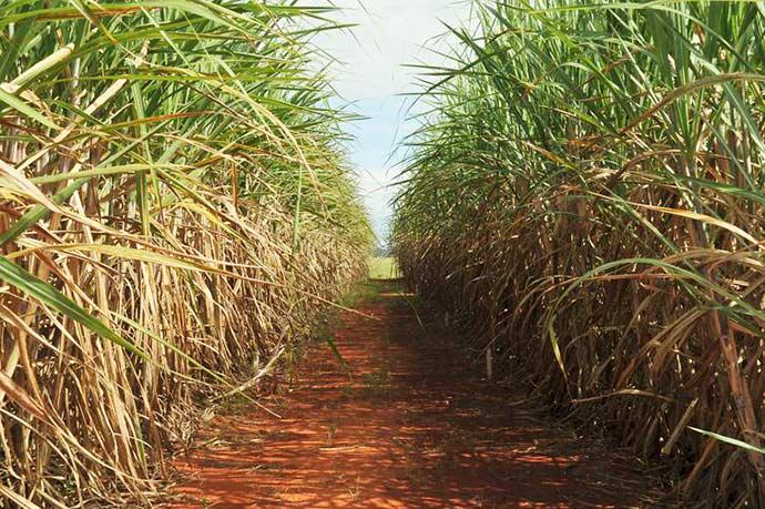 cana de acucar - Greve dos caminhoneiros afeta a produção e a comercialização de açúcar e etanol
