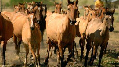 cavalos 390x220 - RS vai capacitar veterinários para atuar em diagnósticos do mormo