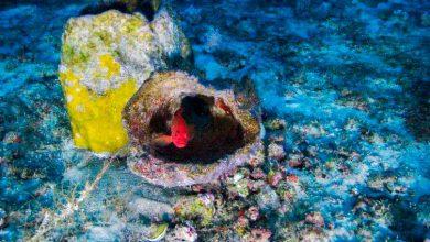 coral amazonas greenpeace 390x220 - MPF pede que Ibama indefira exploração de petróleo na foz do Amazonas