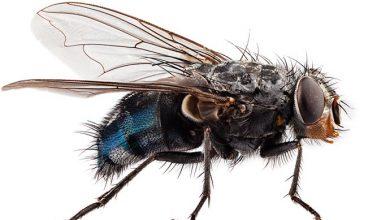 mosca 390x220 - As viroses causadas por insetos