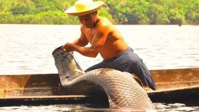 pirarucu 390x220 - Peixe sustentável pode alimentar Forças Armadas