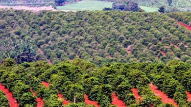 conab765 390x220 - Produção de café deve chegar a 58 milhões de sacas em 2018
