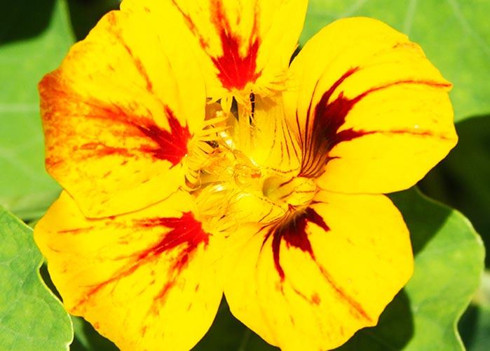 flores comestíveis - Flor comestível: Embrapa Hortaliças avalia vida útil e composição nutricional