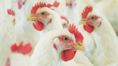 frangos 390x220 - Fepam orienta o descarte de animais mortos