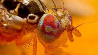 mosca ceratitis 390x220 - Monitoramento de insetos-praga reinicia na região de Pelotas e na Serra Gaúcha