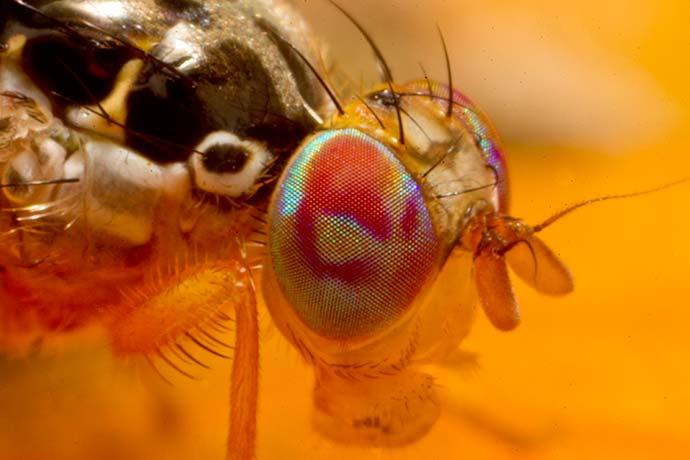 mosca ceratitis - Monitoramento de insetos-praga reinicia na região de Pelotas e na Serra Gaúcha