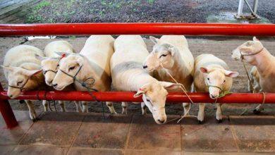 ovelhas 390x220 - Expointer 2018: animais chegam ao Parque Assis Brasil