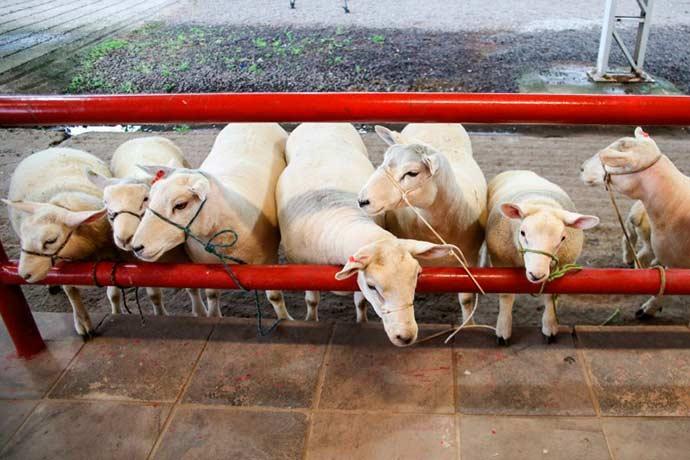 ovelhas - Expointer 2018: animais chegam ao Parque Assis Brasil