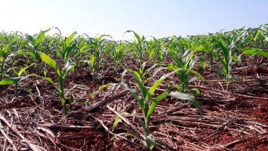 Rio Grande do Sul tem 167 mil hectares semeados com milho 390x220 - RS: milho está 65% colhido e trabalhos a campo avançam