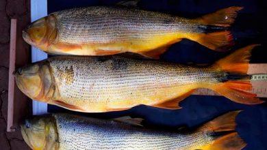 dourado 1 390x220 - Homens são flagrados pescando ilegalmente no Parque Estadual do Turvo