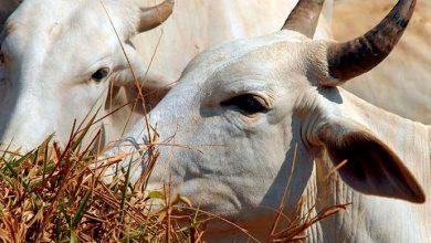 gado 390x220 - Brasil vai exportar gado vivo para o Irã