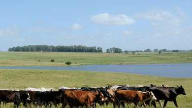 gado pampa 390x220 - Animais criados livres no Pampa fornecem carne mais saudável