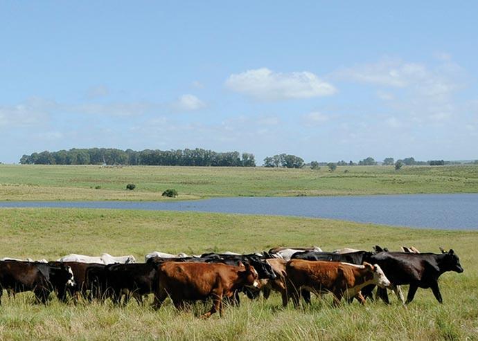 gado pampa - Animais criados livres no Pampa fornecem carne mais saudável