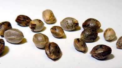 semente maconha 390x220 - 2ª Turma do STF decide que importar sementes de maconha não gera processo criminal